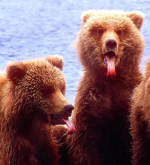 brown-bears-tongues-McNeil-avoid-bear-attacks-photograph-wildlife-travel-landscapes-bears-Alaska-Photo-Adventures