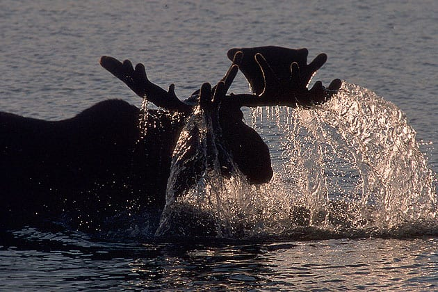 bullmoose-backlit-RonLevy-photograph-wildlife-travel-landscapes-bears-Alaska-Photo-Adventures