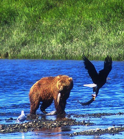 brown bear and bald eagle both with salmon