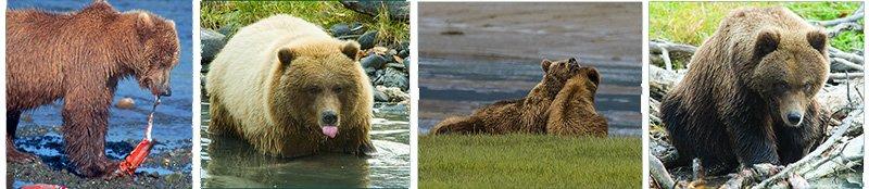 Brown bears, Lake Clark Nat'l Park, Alaska- Ron Levy Photography