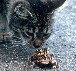 Cat smelling 2 mating frogs, Sarasota, Florida