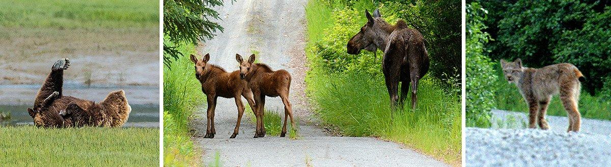 Grizzly bear leg, moose calves, lynx-RonLevy-AlaskaPhotoAdventures