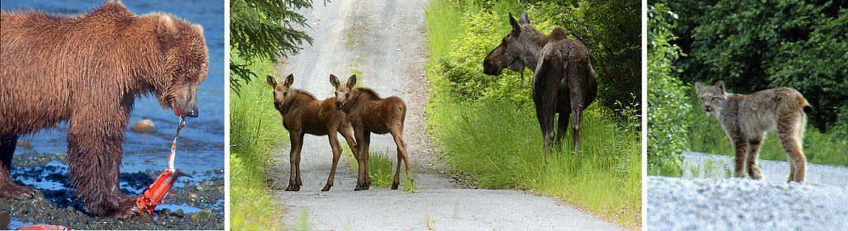 Moose calves, lynx, brown bear, salmon-AlaskaPhotoAdventures-RonLevy