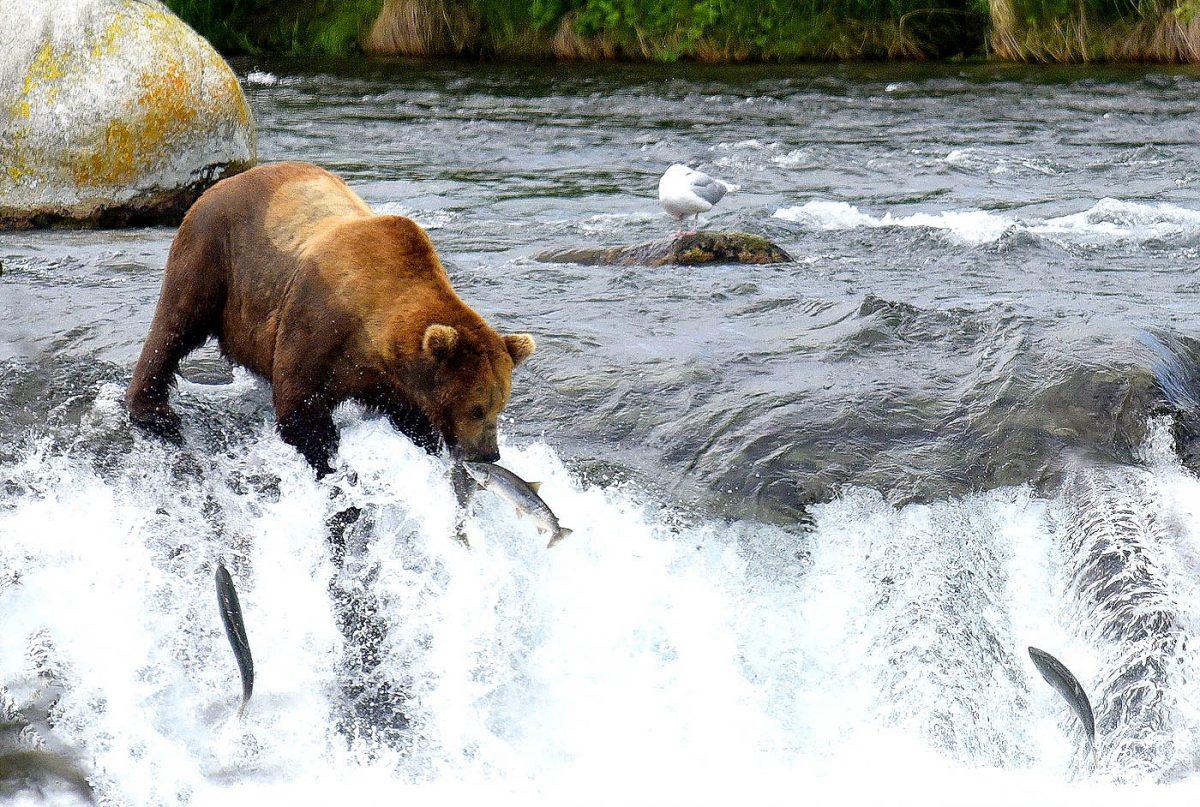 Brown bear catching salmon, Brooks Falls, Alaska Photo Adventures