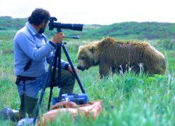 Brown bear near photographer, lens compression, McNeil River Sanctuary, Alaska